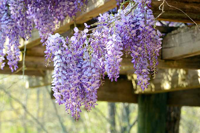 Wisteria, a type of flowering legume. | Foodal.com