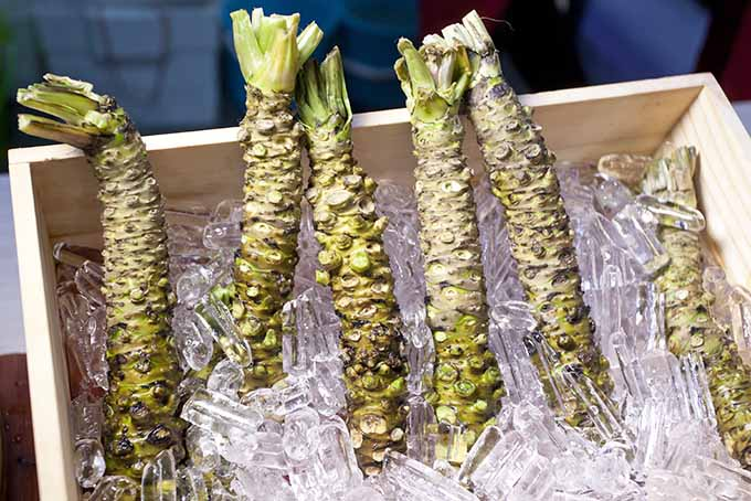 Raw Wasabi Rhizomes Stored in Ice | Foodal.com