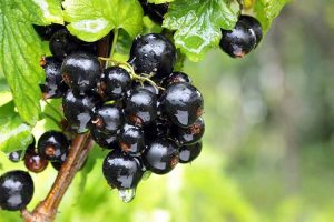 Why You Should Be Eating Blackcurrants, a Tangy and Nutritious Superfood