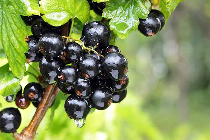 Beautiful and Bold Blackcurrants Tangy and Nutritious | Foodal.com