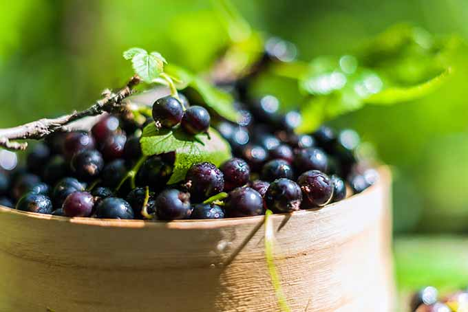 Blackcurrants in a Large Basket | Foodal.com