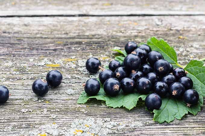 Blackcurrants | Foodal.com