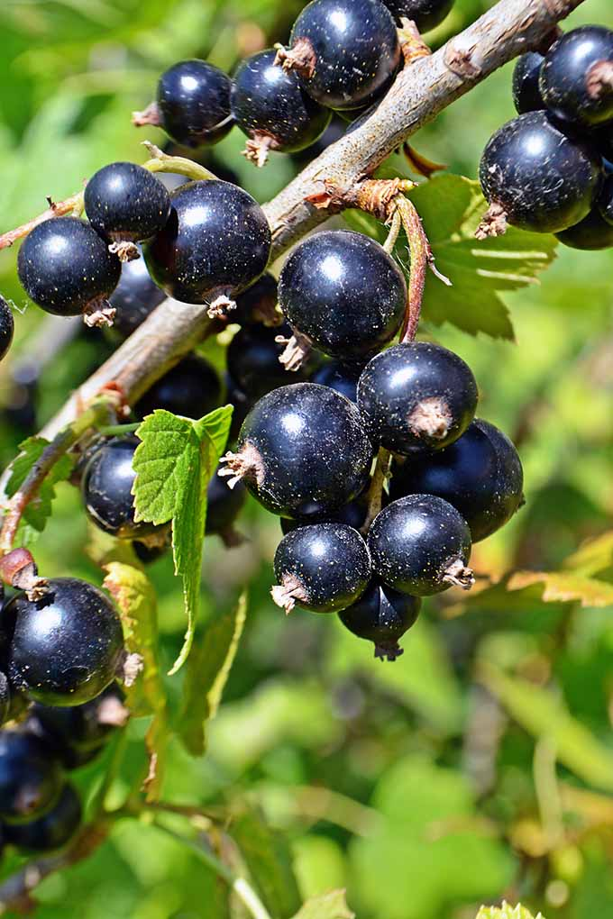 Love currants? We have all the info you need on the blackcurrant fruit, including its nutritional info and some delicious recipe ideas to add to your summer menus! Read all about this fruit on Foodal now: https://foodal.com/knowledge/paleo/blackcurrants-tangy-nutritious/