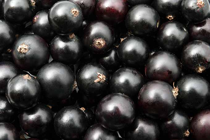 Bold Blackcurrants | Foodal.com