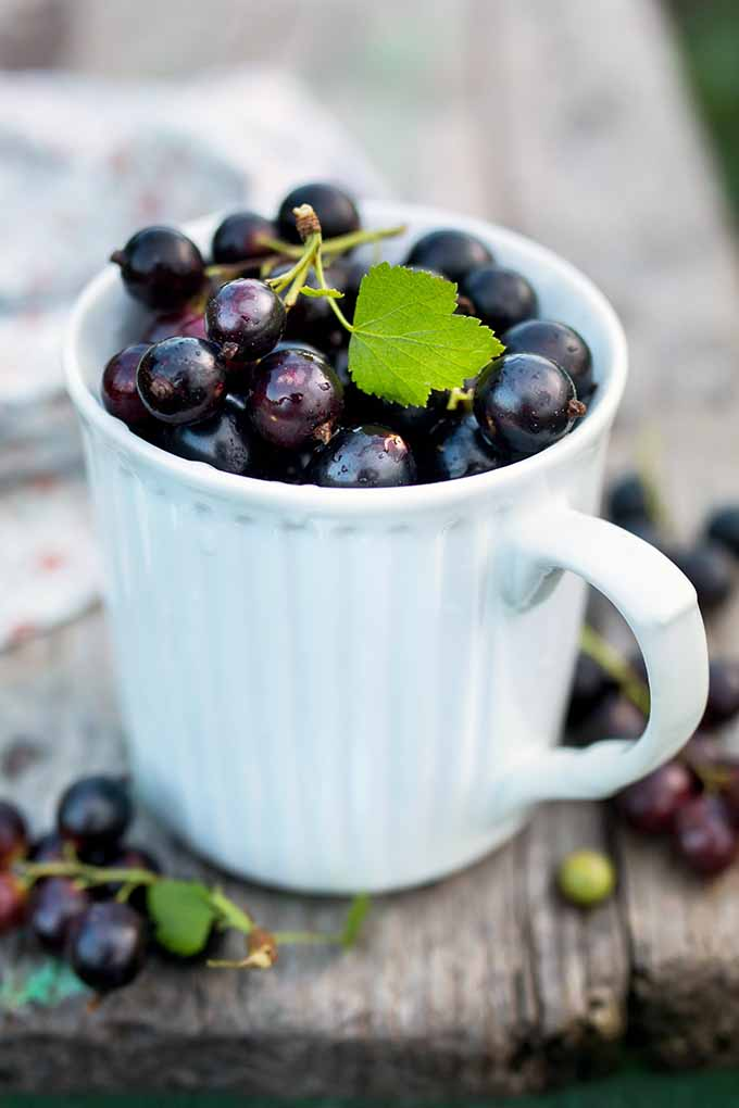 Blackcurrants are delicious as a sauce over ice cream, or baked in a galette. But did you know that they are a superfood? Read more about this nutritious fruit on Foodal now, and get some tasty recipes, too: https://foodal.com/knowledge/paleo/blackcurrants-tangy-nutritious/