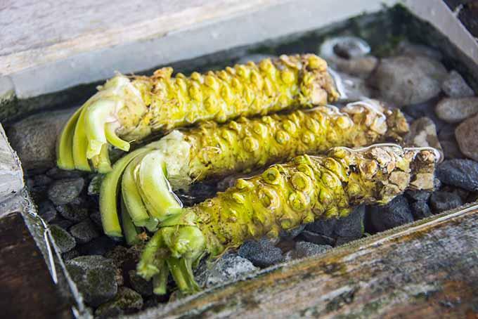 Fresh Wasabi on Rocks | Foodal.com