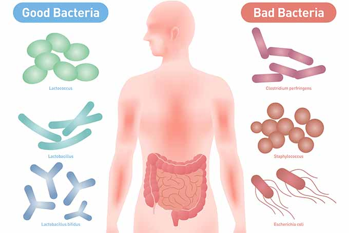 Examples of Good Bacteria and Bad Bacteria | Foodal.com