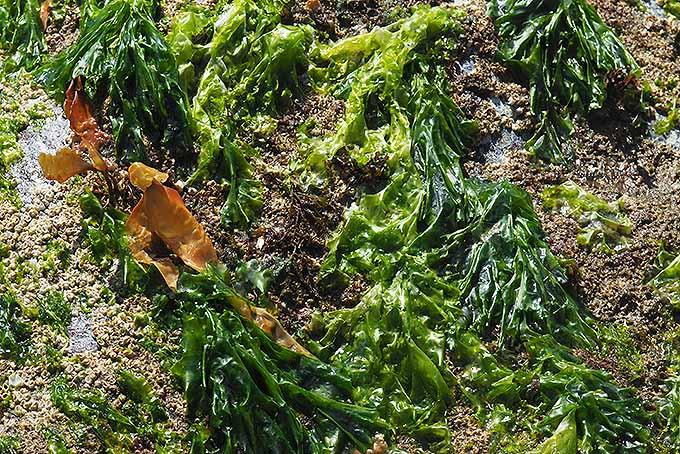 Green Sea Lettuce   Foodal.com