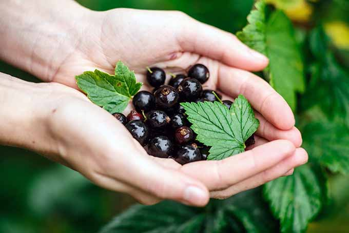 Hands Holding Blackcurrants | Foodal.com