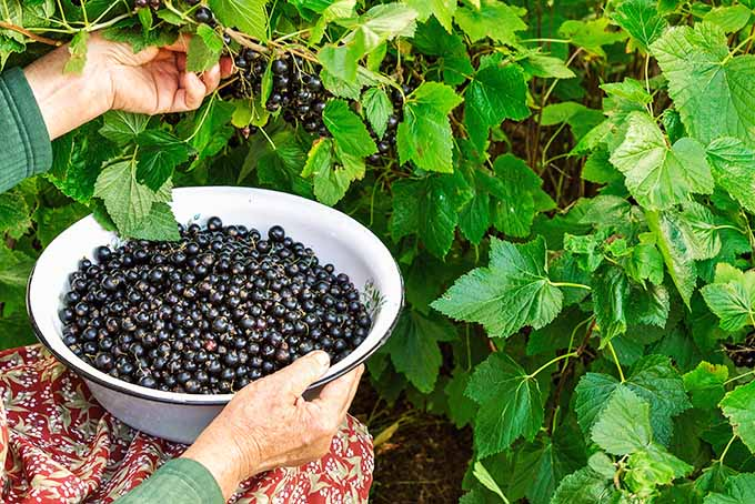 Picking Currants | Foodal.com