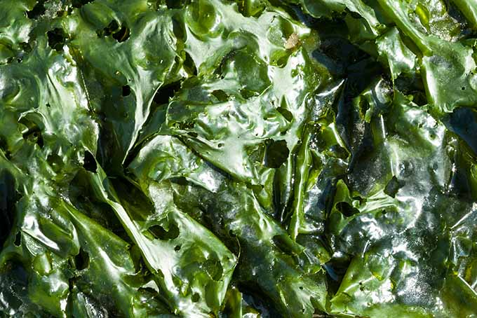 Sea Lettuce | Foodal.com
