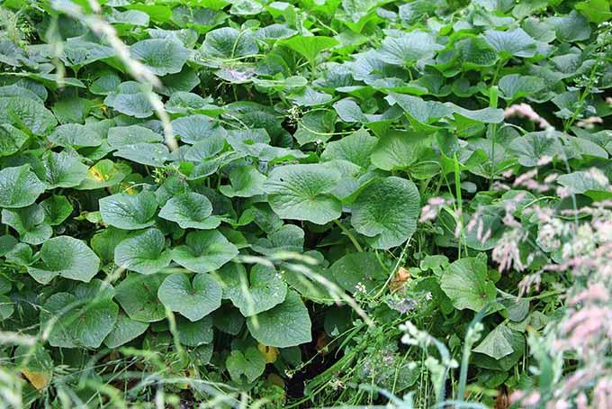 Wasabi Leaves | Foodal.com