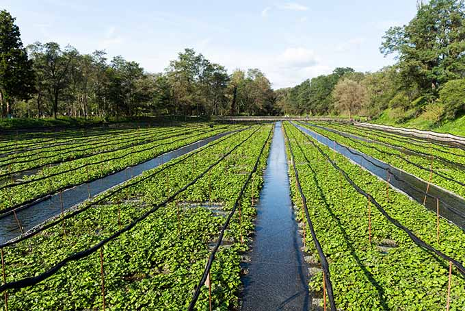 Wasabi Plant Fields | Foodal.com