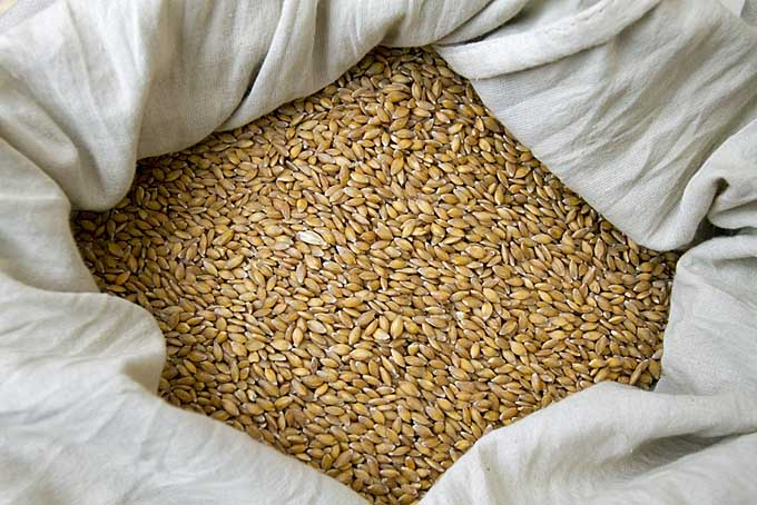Close up a quantity of einkorn wheat berries ina cotton bag | Foodal