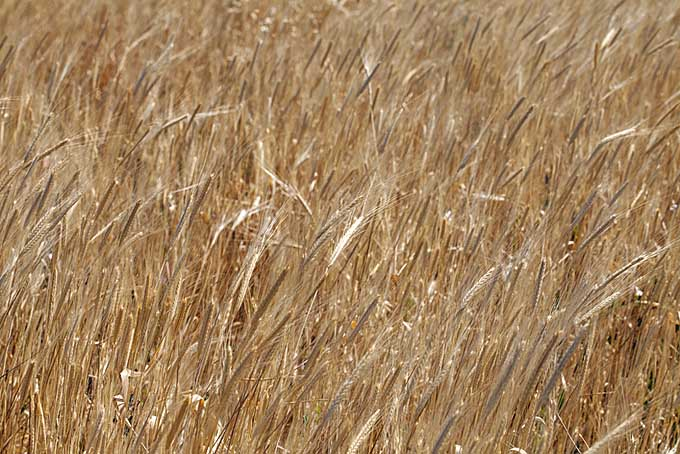 A field full of einkorn style wheat | Foodal