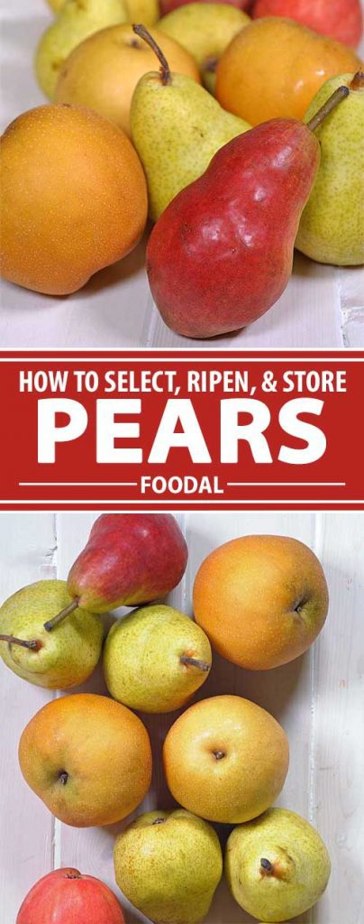 Sweet, juicy pears are available year round, but they are sometimes upstaged by more exotic seasonal fruits. Join us as we take a close look at this stalwart staple of the produce aisle, and learn how to ripen, store, and prepare some flavorful and versatile varieties, right here on Foodal.