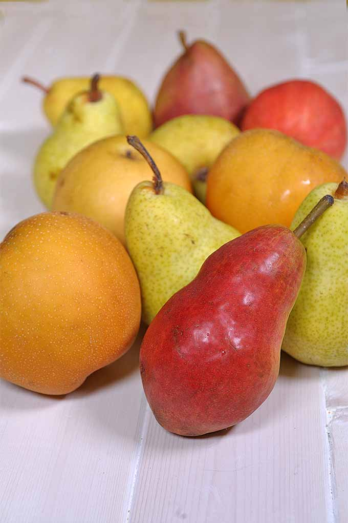 Not sure how to store pears, or determine whether they're ripe? Our tips can help: https://foodal.com/knowledge/how-to/store-pears/
