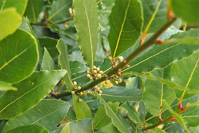 Bay Leaves with Flower Buds | Foodal.com