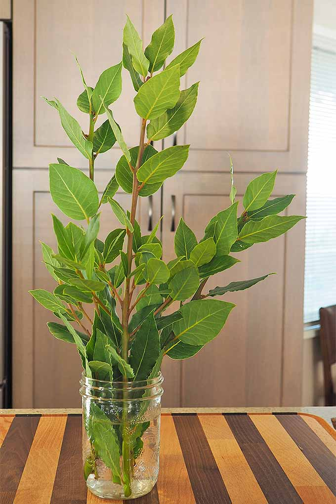 L. nobilis, or bay laurel, can be used to flavor many types of dishes, and used fresh or dried. Learn more: https://foodal.com/knowledge/how-to/bay-leaves/