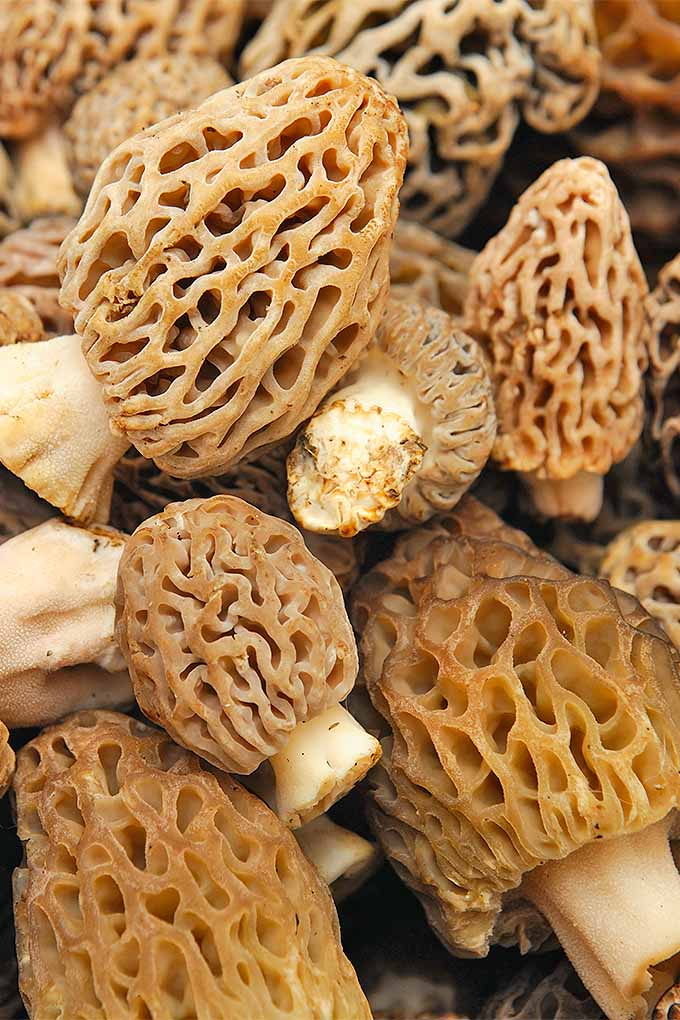 Love morels? We'll teach you how to clean, store and prepare all types of delicious fungi: https://foodal.com/knowledge/how-to/store-mushrooms/