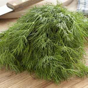 A close up of a bundle of fresh dill weed.