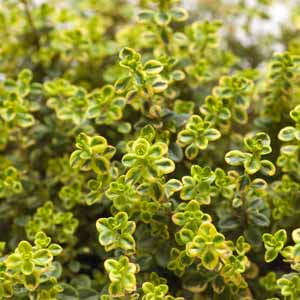Close up of lemon thyme leaves.