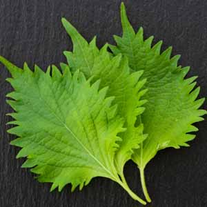 Close up of three fresh shiso leaves on a dark background.