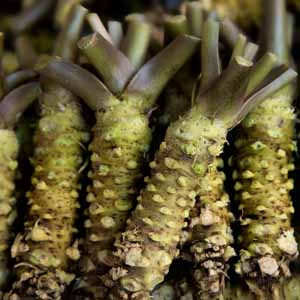 A bunch of real wasabi roots.