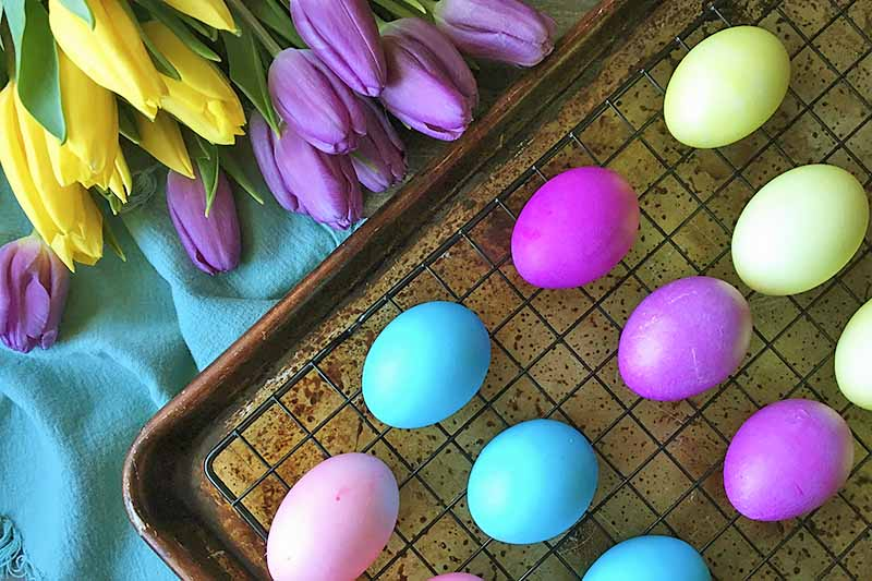 Horizontal image of dyed eggs on a sheet pan next to a blue towel and purple and yellow flowers.