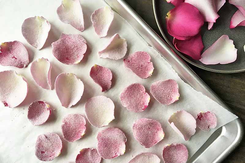 Horizontal image of a baking sheet pan lined with parchment paper with candied pink petals.