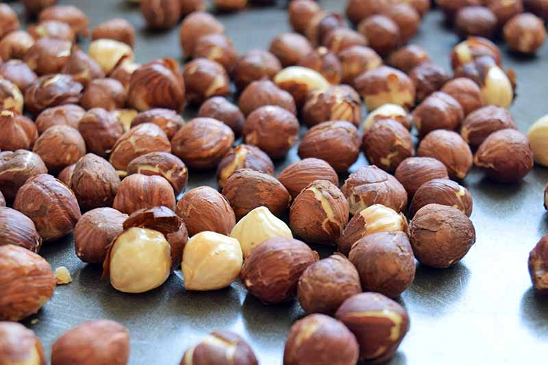 Hazelnuts with skins on, toasting on a metal baking pan.