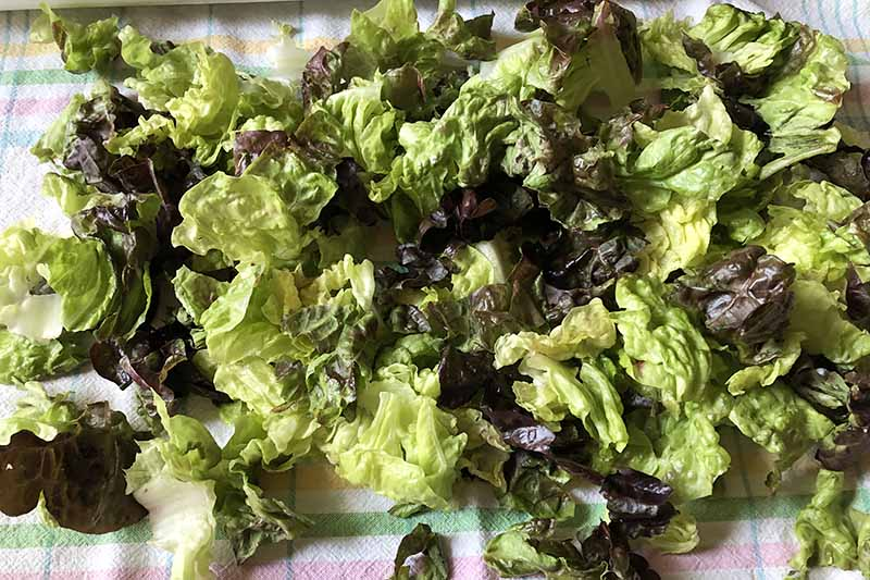 Horizontal image of green butter lettuce on a towel.