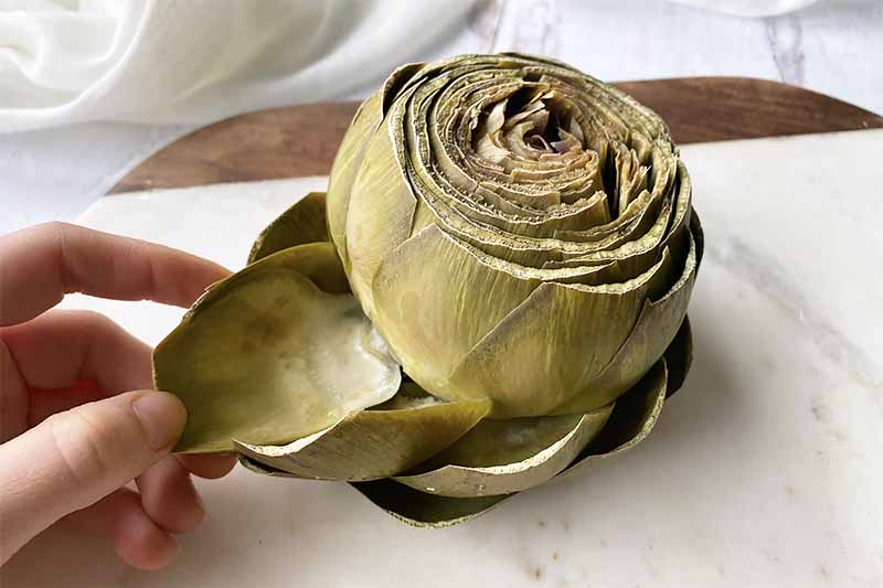 Horizontal image of a boiled artichoke and fingers removing one of the leaves, on a white cutting board.