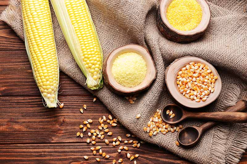 Horizontal image of bowls of cornmeal and dried kernels on burlap next to fresh ears.