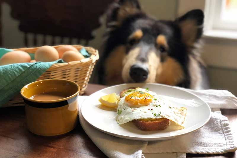 Horizontal image of a dog gazing on a plate with breakfast next to a cup of coffee.